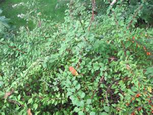 Japanese Barberry Bushes with Thorns