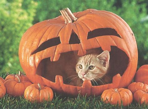 cats and kittens cat in a pumpkin