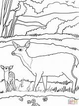 Deer Coloring Mule Pages Mother Printable Tail Drawing Blacktail Supercoloring Printables Crafts Popular Super Wood Tailed Coloringhome sketch template