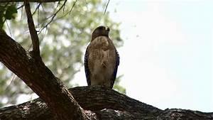 Hawks attacking residents in Oviedo neighborhood