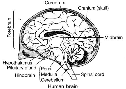 labeled brain black and white diagram of human brain draw a labelled diagram of human