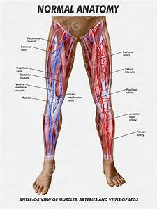 29 Veins And Arteries Of The Leg Diagram
