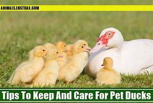 Tips To Keep And Care For Pet Ducks