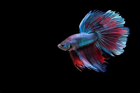 siamese fighting fish image gallery siamesefightingfish