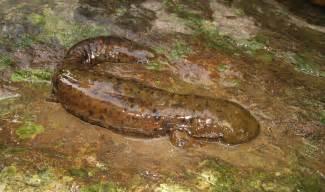 Virginia Hellbender Salamander