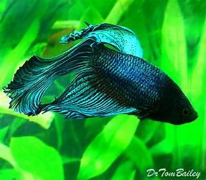 Male Betta for Sale AquariumFish