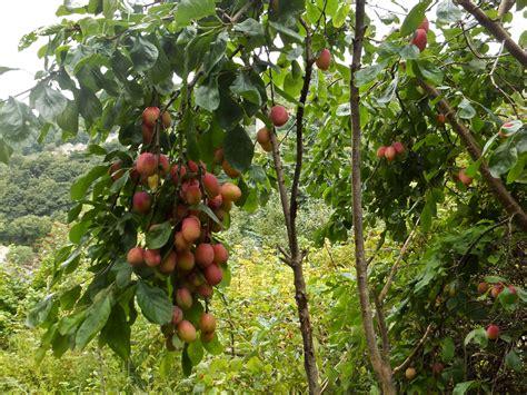 fruitless plum tree fruit plum tree being 42