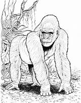 Gorilla Coloring Pages Animals Animal Jungle Printable Gorillas Mountain Forest Zoo Wildlife Books Rainforest Sheets Drawing African Cartoons Printables Categories sketch template