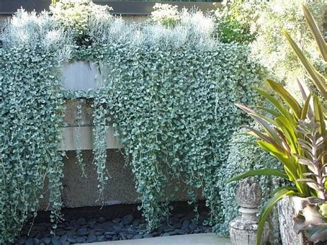 pflanzen für steinmauer silberregen steinmauer betonmauer kletterpflanzen garten
