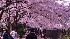 yokohamamama: Hanami Cherry Blossom Viewing