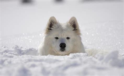 Samoyed The Sledding Dog
