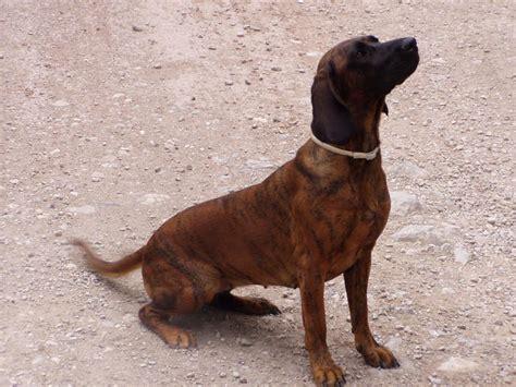 i cani da traccia - Pagina 4 - Il forum sulla caccia e ...
