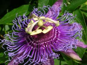 The Passionflower: The Sacred Symbol - WishGarden Herbs Passion Flower