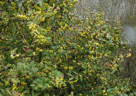 Berberis Hookeri Himalayaberberitze Immergrün Duftende Blüten