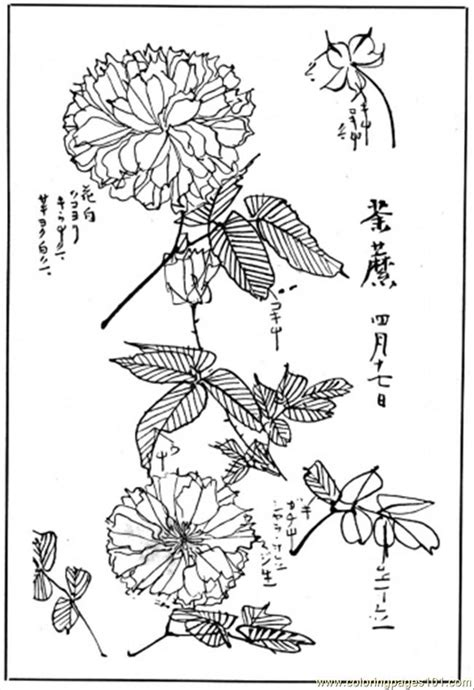 chrysanthemum  coloring page  flowers coloring pages coloringpagescom
