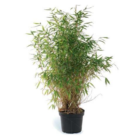 bambou moyen fargesia botanic