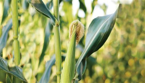 corn history large scale trials reveal secrets about adaption of modern corn hybrids