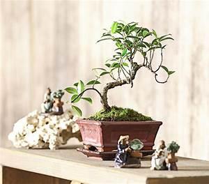 Bonsai Pflege Für Anfänger : bonsai chinesischer feigenbaum 6 jahre dehner ~ Frokenaadalensverden.com Haus und Dekorationen