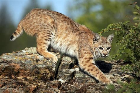 Bobcat In Anthem Attack Tests Positive For Rabies Apache