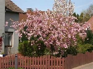 Rosa Blühende Bäume April : japanische h nge nelkenkirsche 39 kiku shidare zakura 39 prunus serrulata 39 kiku shidare zakura ~ Michelbontemps.com Haus und Dekorationen