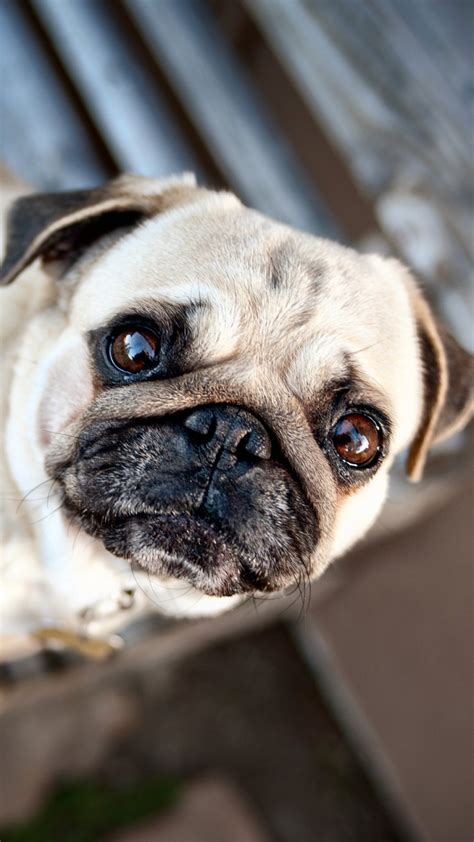 pug puppy wallpaper  images