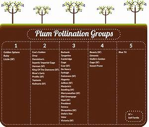 Plum Pollination Guide