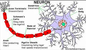 The Function Of The Nerve Cell