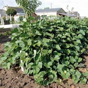 Culture De La Patate Douce : patate douce beauregard en plants ipomoea batatas ~ Carolinahurricanesstore.com Idées de Décoration
