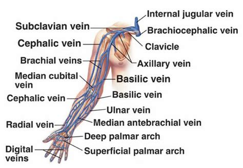 Diagram Of Arm Vessel by Cardiovascular System Anatomy Of The Cardiovascular