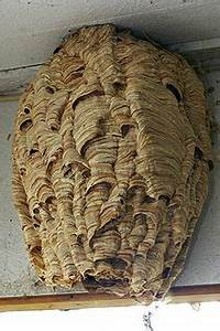 Essaim De Frelon : vespa crabro wikip dia ~ Melissatoandfro.com Idées de Décoration