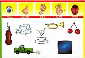 Organos delos sentidos para niños Imagui