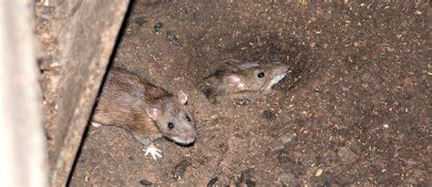 rat dans le plafond les parasites archives page 2 sur 2 sab service antiparasitaire de bretagnesab service