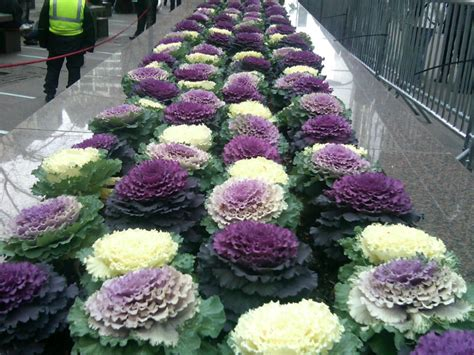 decorative cabbage and kale glorious ornamental kale the smarter gardener