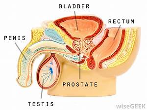 What Are Testes   With Pictures