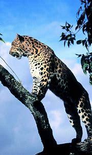 Leopard in a tree iPhone 4s wallpaper | Animals, Leopard ...