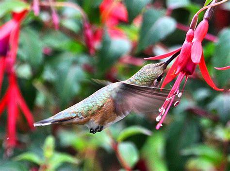 top 28 perennial flowers for hummingbirds heuchera
