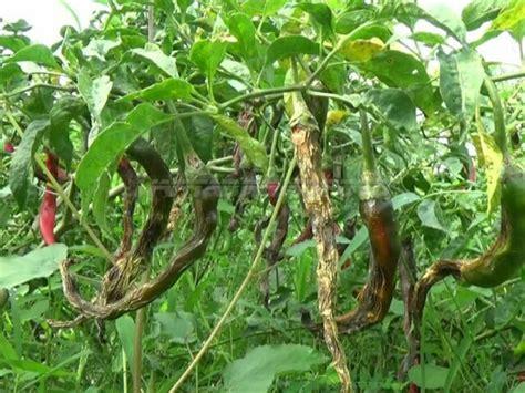 puluhan hektare tanaman cabai  probolinggo rusak