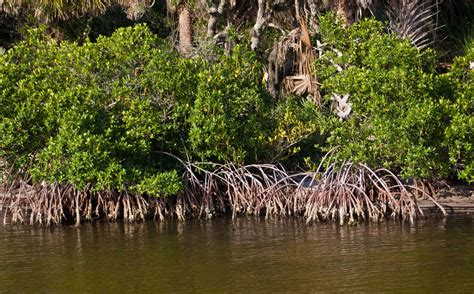 Marine Mangroves - ThingLink
