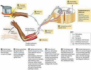 Chapter 5 The Central Nervous System