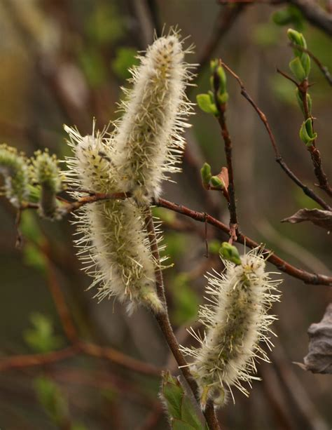 Some Deciduous Trees Forgo Showy Flowers, Pollinate Early