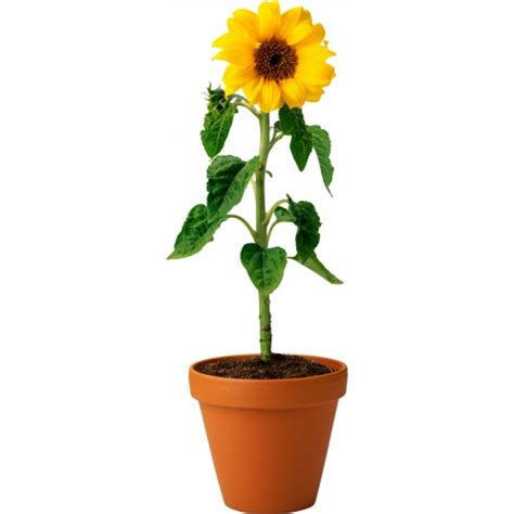 planter des graines de tournesol en pot sticker pot de fleur tournesol stickers muraux deco