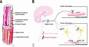 A  Esophageal Motor Innervation By The Vagus Nerve
