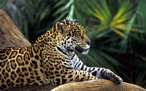 Jaguars, Animals Wallpapers Hd / Desktop And Mobile