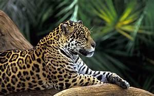 jaguars, Animals Wallpapers HD / Desktop and Mobile ...