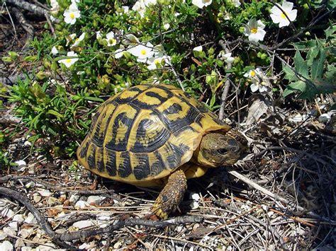 le pour tortue terrestre la tortue d hermann fiches conseils gt nac