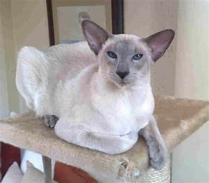 Kitty cats in my life: Modern Siamese Cats | Pictures of Cats