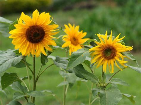 budidaya bunga matahari secara benar