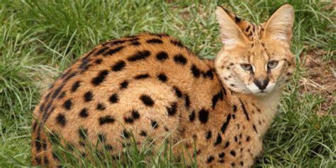 พัฒนาสื่อเพื่อการศึกษา สัตว์ป่าสงวน: แมวลายหินอ่อน