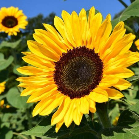 beginners guide  growing sunflowers agriculture