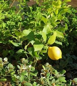 Tailler Un Citronnier : citrus limon citronnier des quatre saisons ~ Melissatoandfro.com Idées de Décoration
